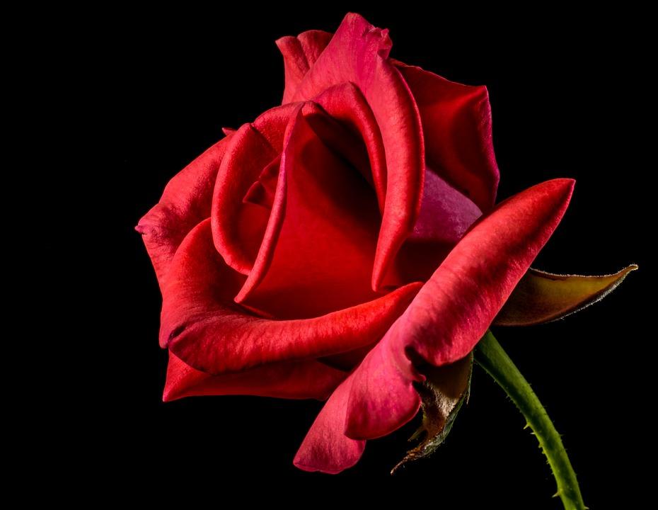 red-rose-320868_960_720 (1)